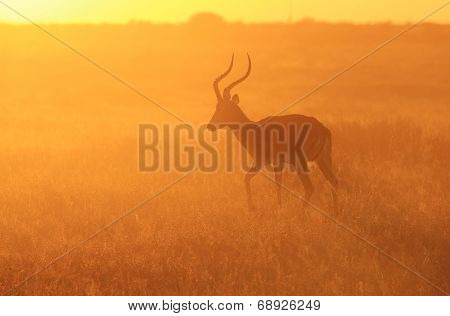 Impala - African Wildlife Background - Golden Dust and Yellow Light