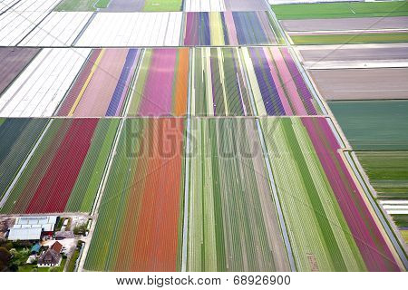 Colourful Dutch Flower Field From Above