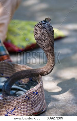 King Cobra Snake In Northern India