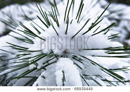 Close up of a fir branches covered with snow in winter