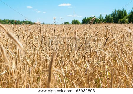 field with ripe wheat