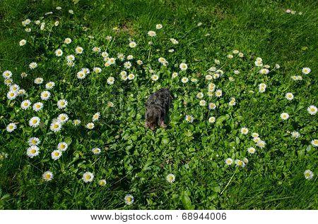 Dead Black Mole In Meadow Between Daisy Flowers