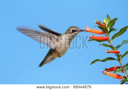 Ruby-throated Hummingbird At A Cigar Flower