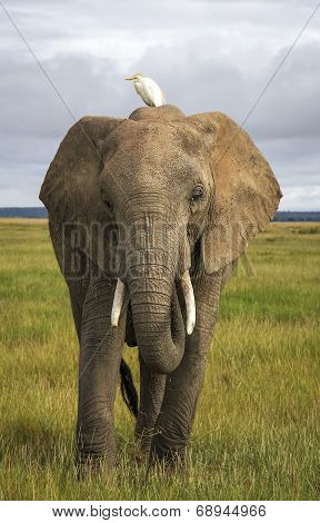 Elephant with cattle egret on head