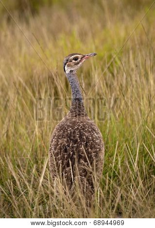 white bellied bustard