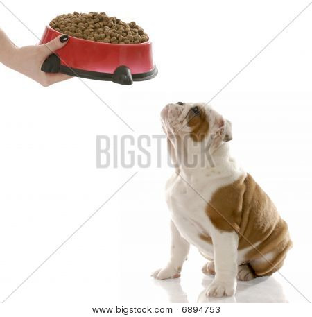 Bulldog Puppy Being Fed