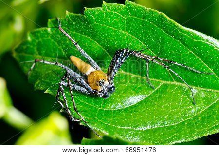 Yellow Lynx Spider  ( Oxyopes Quadrifasciatus )