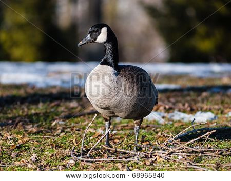 Single Canada Goose Standing On Frozen Ground And Twigs.