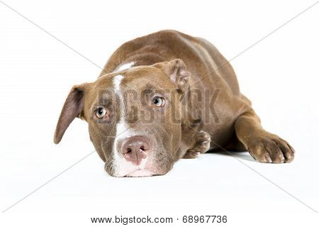 Lazy Dog Isolated on White