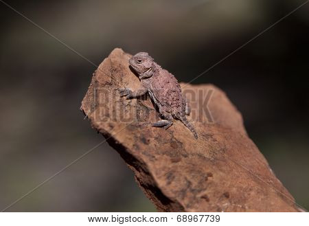 Horned Lizard in Arizona, Phyrnosoma hernandesi