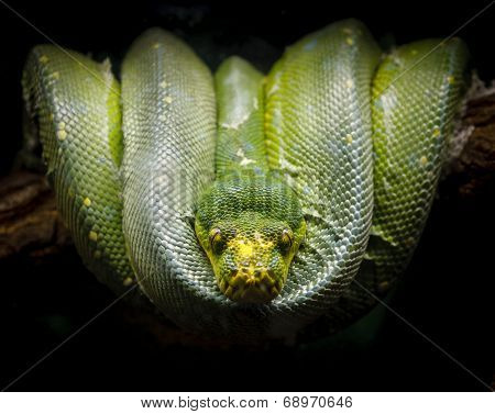 Green tree python coiled on a branch. Morelia viridis.