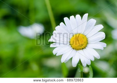 Closeup Of Dewy Daisy Flower Bloom With Petals.