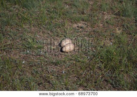 Nest Demoiselle Crane Steppe In Spring Kalmyk Steppe