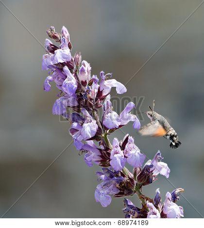 Hummingbird Feeding Flower Nectar.