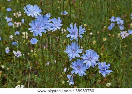 Chicory Flowers In A Forest Glade.