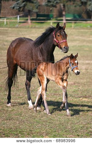 Mare and foal galloping together in pastureland