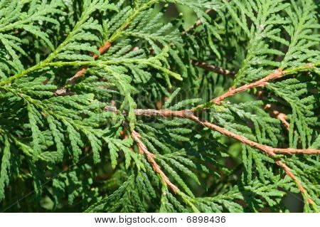 Thuya Tree