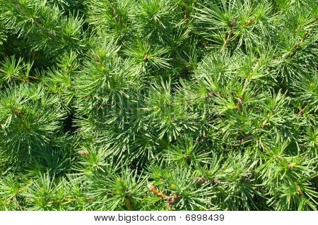Pine Sprouts Background