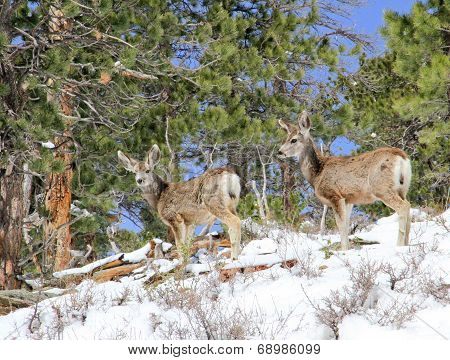 Two mule deer foraging in snow