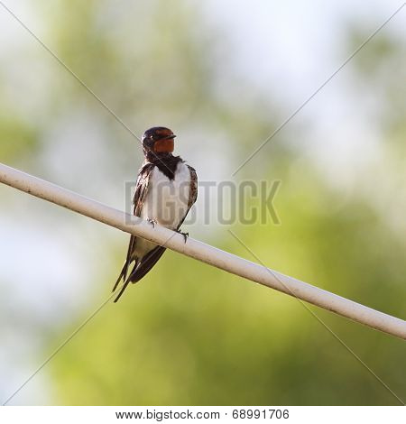 Barn Swallow On Electric Wire