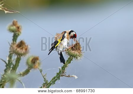 European Goldfinch On Thistle Flower