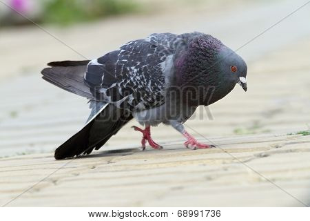 Feral Pigeon In Mating Season