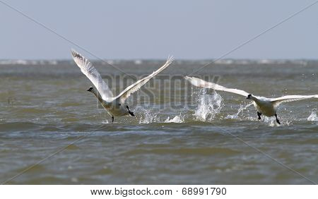 Two Mute Swans Taking Off
