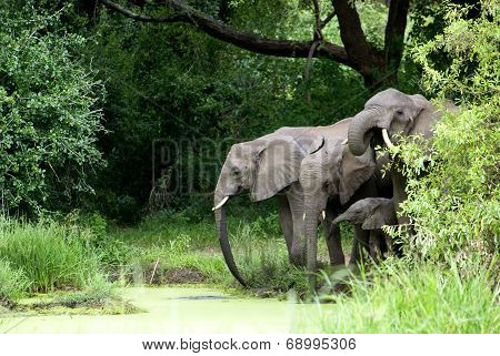 Elephant Family drinking Water