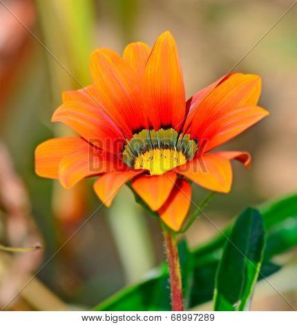 Orange And Yellow Gazania