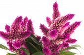 foto of celosia  - Cockscomb celosia spicata plant on a white background - JPG