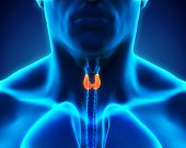 pic of human internal organ  - Human Thyroid Gland Illustration  - JPG