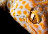 pic of tokay gecko  - Tokay Gecko on black background - JPG