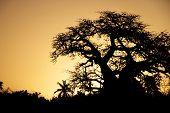 foto of baobab  - Baobab Tree Silhouette at Sunset - JPG
