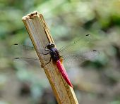 stock photo of stick-bugs  - macro of red tail dragonfly hanging a stick ; selective focus at eyes with blur background