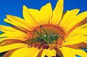 stock photo of locusts  - Large locust sitting on a bright sunflower - JPG