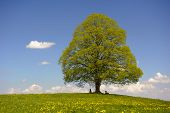 stock photo of linden-tree  - single big linden tree at spring in Bavaria - JPG