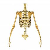 stock photo of skeleton  - The human skeleton is the internal framework of the body - JPG