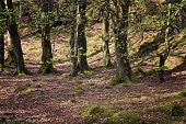 picture of bute  - Woodland on the Isle of Ulva Inner Hebrides of Scotland - JPG