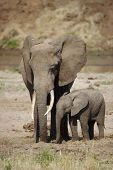 picture of calves  - Shot of a mother elephant with her calf - JPG