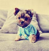 image of yorkie  - a cute yorkie in a shirt toned with a retro vintage instagram filter - JPG