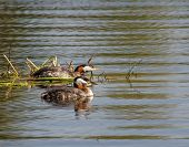 image of grebe  - A mated pair of Red - JPG