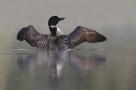 picture of loon  - Common Loon  - JPG