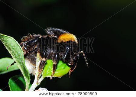 bumblebee sleeping