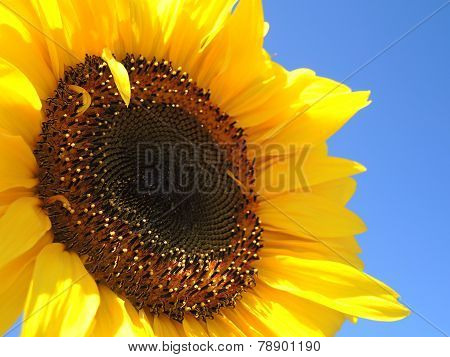Solo sunflower