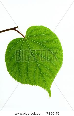 Linden Leaf Isolated