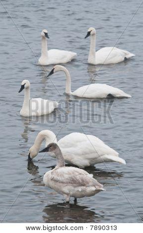 Flock Of Trumpeter Swans (Cygnus buccinator) In River