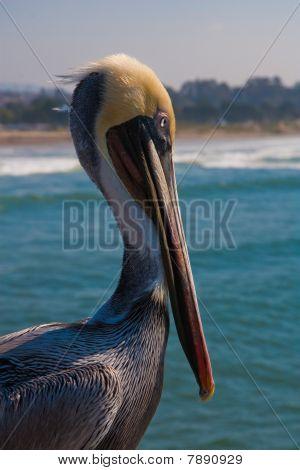 Healthy Pelikan Looking At The Sea
