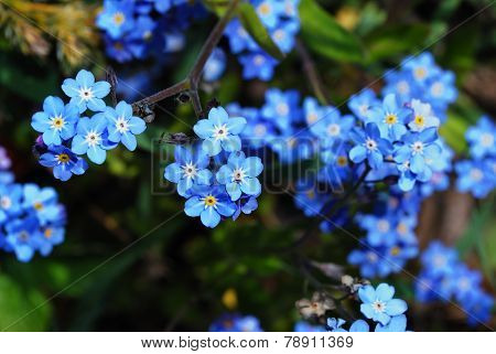 forget-me-not flower from above