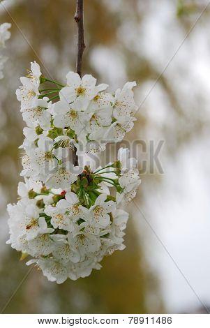 fresh blossoms on cherry tree