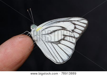 Male Of Stripped Albatross Butterfly